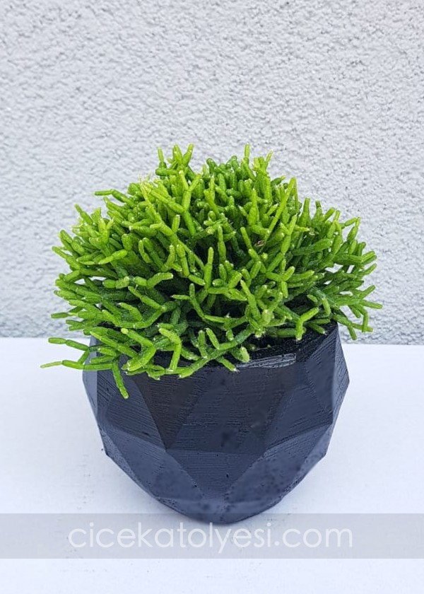 Rhipsalis Yellow